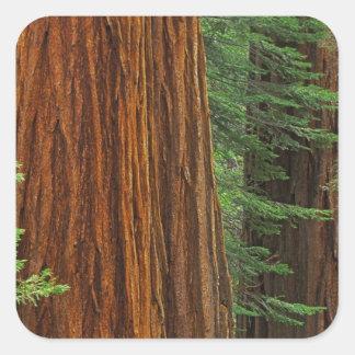 森林、ヨセミテのセコイアオスギのトランク スクエアシール