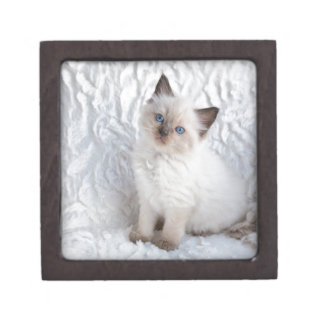 椅子の毛皮に坐っている1匹の若いragdoll猫 ギフトボックス