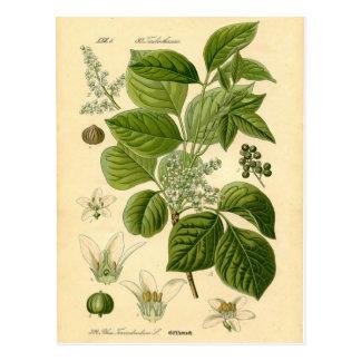 植物のプリント-ツタウルシ(Toxicodendron) ポストカード