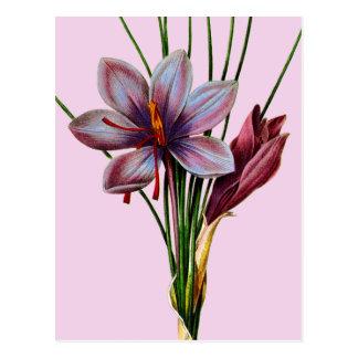 植物学: サフラン ポストカード