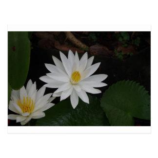 《植物》スイレン(スイレン属) ポストカード
