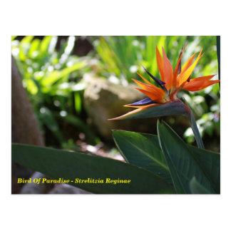 極楽鳥-ゴクラクチョウカ属のReginaeの郵便はがき ポストカード