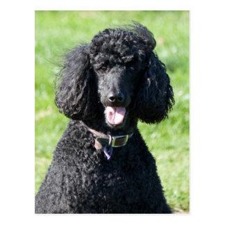 標準プードル犬の黒の美しい写真のポートレート ポストカード