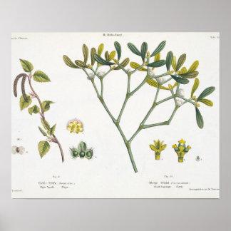 樺の木(残っている)およびヤドリギ(右の)、図9および10 ポスター