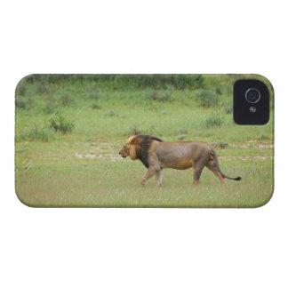 歩くのオスのライオン、ヒョウ属レオ、Kgalagadi Case-Mate iPhone 4 ケース