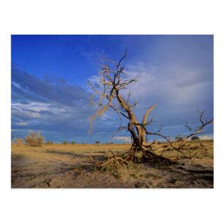 死んだラクダのとげ(アカシアErioloba)の木 ポストカード