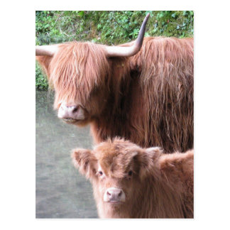 毛深い鳴き声: 高地の牛牛および子牛 ポストカード