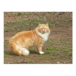 毛皮で覆われたオレンジおよび白い猫 ポストカード