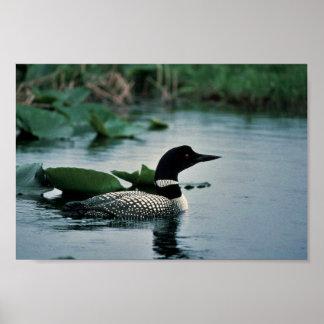 水に共通の水潜り鳥 ポスター