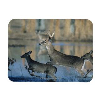 水を通るオジロ鹿シカのランニングの群れ マグネット