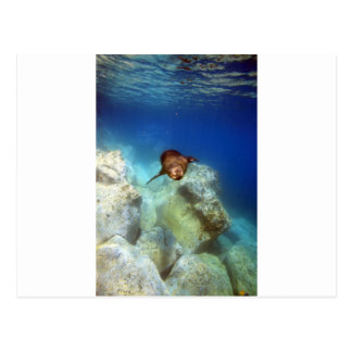 水中ガラパゴス諸島を泳いでいるアシカの雄牛 ポストカード
