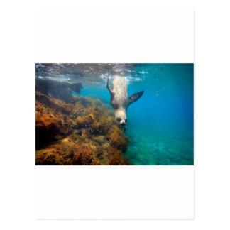 水中ガラパゴス諸島を遊んでいるアシカ ポストカード