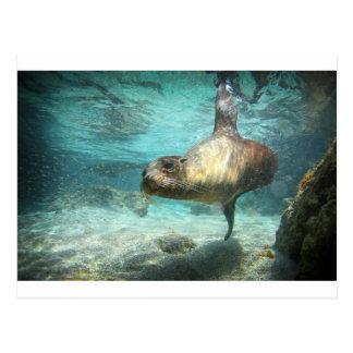 水中好奇心が強いアシカガラパゴス ポストカード
