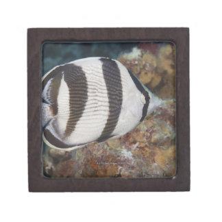 水中生命; 魚:  バンドを付けられたButterflyfish ギフトボックス