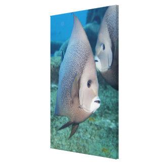 水中生命、魚:  組の灰色のAngelfish キャンバスプリント