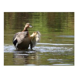 水歩くのマガモ ポストカード