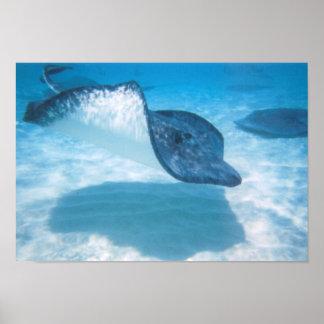 水泳のかわいらしいアカエイのプリント ポスター