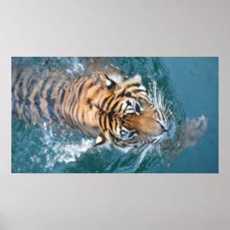 水泳のSumatranのトラ ポスター