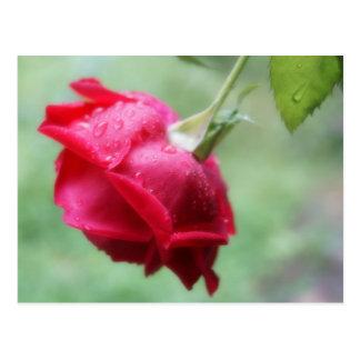 水滴の郵便はがきを持つ赤いバラ ポストカード