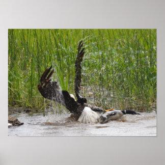 水潜り鳥を攻撃しているワシ ポスター
