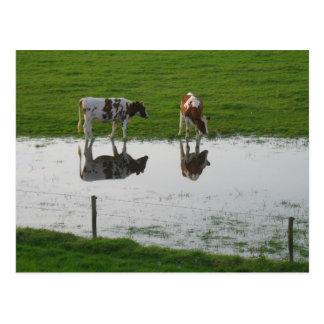 水郵便はがきの牛反射 ポストカード