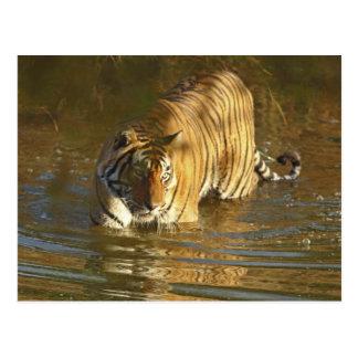 水、Ranthambhorの王室のなベンガルトラ ポストカード