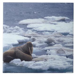氷のNA、米国、アラスカ、セイウチおよび若者 正方形タイル大
