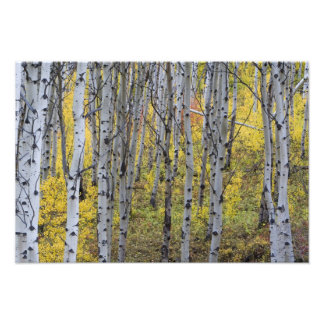 氷河のピーク秋色の《植物》アスペン果樹園 フォトプリント