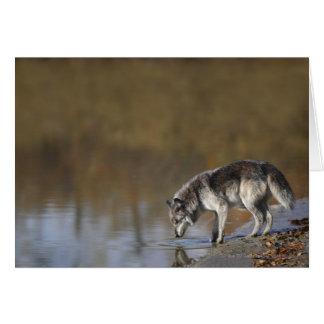 池からのオオカミの飲料水 カード