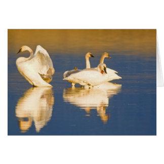 池の最後のライトのナキハクチョウ家族の カード