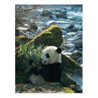 河岸、Wolong、3によるパンダの食べ物のタケ ポストカード