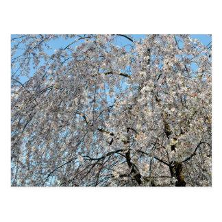 泣く桜: 日本 ポストカード