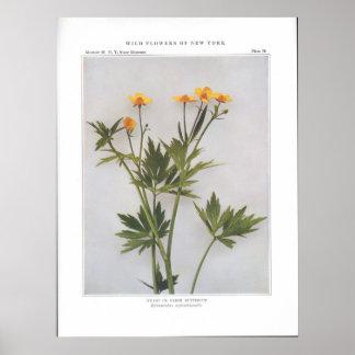 泥地または沼地のキンボウゲ ポスター