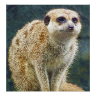 注意、カンザスシティの動物園のかわいいMeerkat ポスター