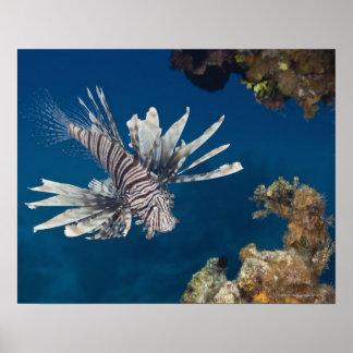 泳いでいるミノカサゴ(Pteroisのvolitans) ポスター