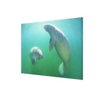 泳いでいる組のフロリダのマナティー キャンバスプリント