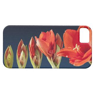 活気付くアマリリスの花 iPhone SE/5/5s ケース