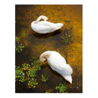 浅瀬に太陽の反射の2羽の白鳥 ポストカード