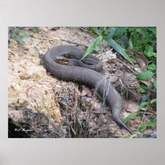 浴しているCottonmouthのヘビ ポスター