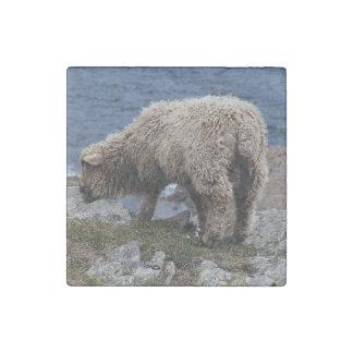 海岸で牧草を食べている南デボンの長いウールのヒツジの子ヒツジ ストーンマグネット