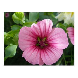 淡いピンクのハナアオイ属 ポストカード