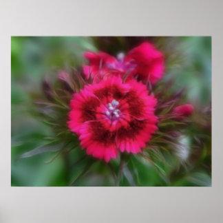 深紅のナデシコBarbatus - ポスター
