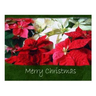 混合された色のポインセチア3 -メリークリスマス ポストカード