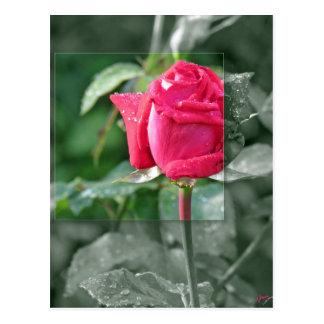 湖による花-赤いバラの芽 ポストカード