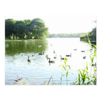 湖の白鳥 ポストカード