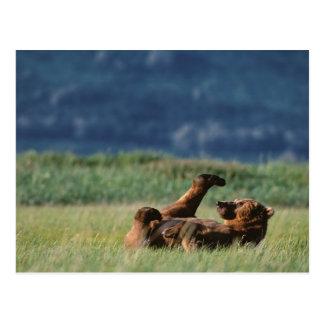 演劇のヒグマ、Ursusのarctos、アラスカ ポストカード