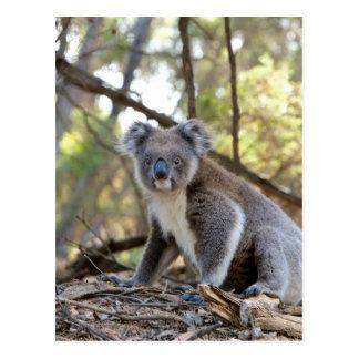 灰色および白いコアラ ポストカード