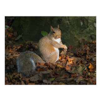 灰色のリス-ビュート公園、カーディフ、ウェールズ、イギリス ポスター