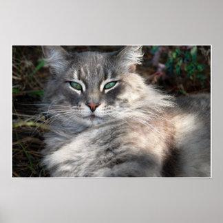 灰色の緑色の目のメインのあらいぐま猫ポスター ポスター