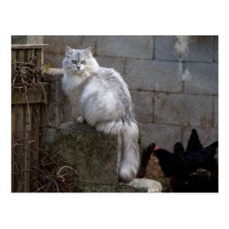灰色白のアンゴラ猫 ポストカード